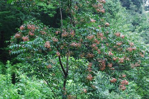 ゴンズイの木と実は