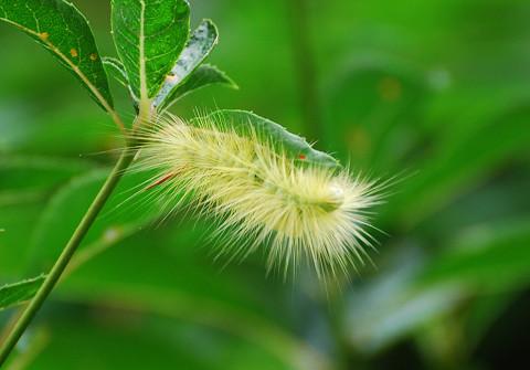 エゴノキの葉を食べる幼虫