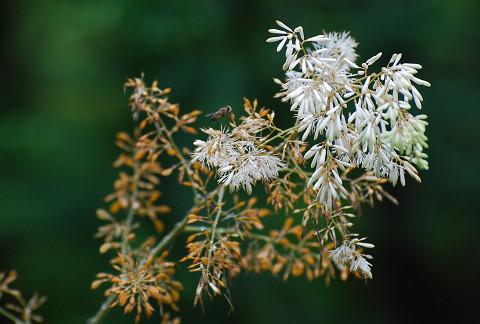 タケニグサの花は