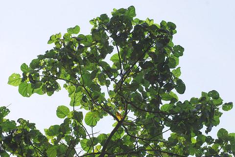 イイギリの大きな葉が