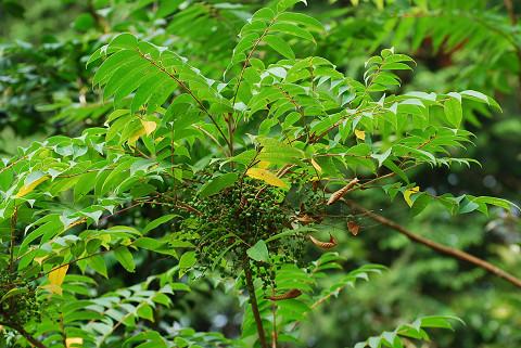 ヤマハゼの緑の実が