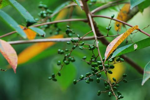 ヤマハゼの緑色の実