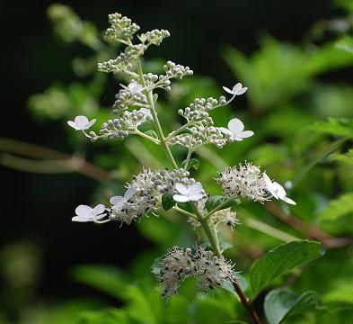 ノリウツギの白い花が2