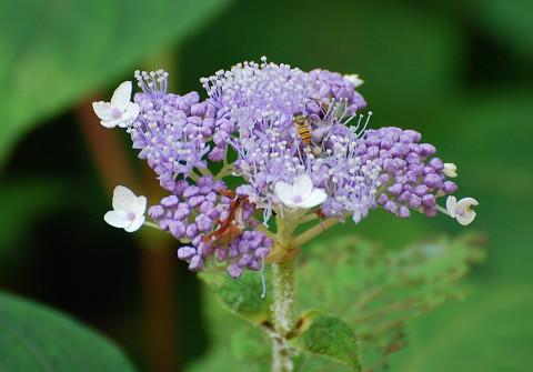 守義のタマアジサイの花