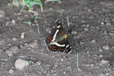 きれいなチョウが