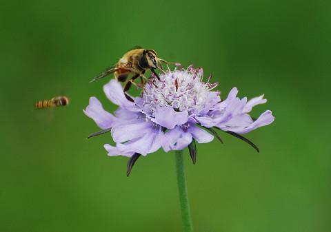 マツムシソウにハチが