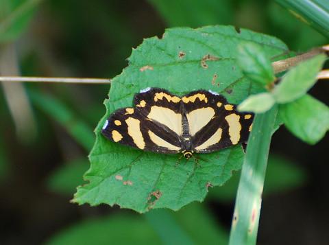 キンモンガという蛾