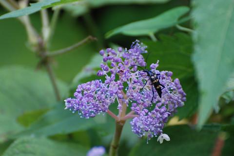 タマアジサイの花に虫が