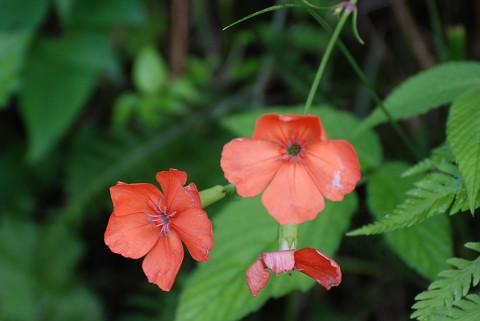 フシグロセンノウに美しい花が