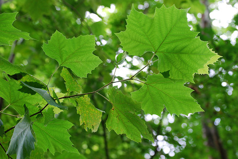 スズカケノキの葉は