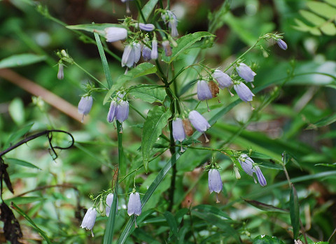ツリガネニンジン淡い紫