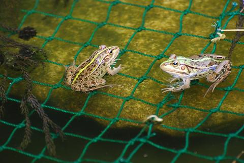 池のトノサマガエルは