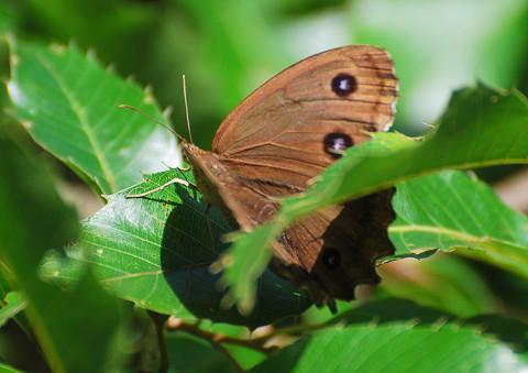 茶色のジャノメチョウ