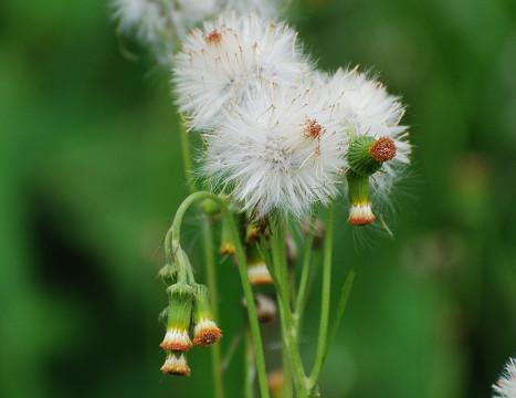 ベニバナボロギクの白い穂が