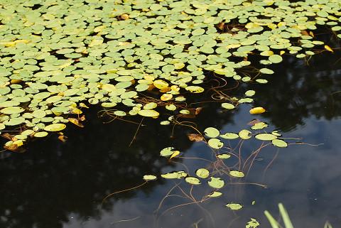 池のヒルムシロが