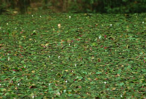 ヒシが広がる池