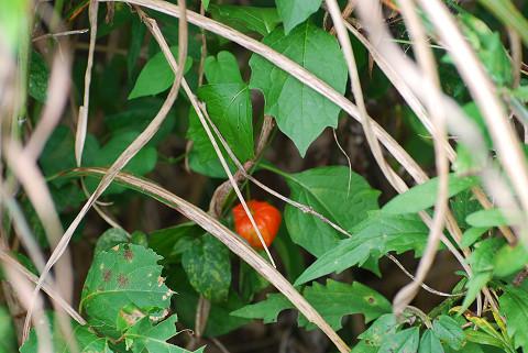 ホオズキに赤い実が