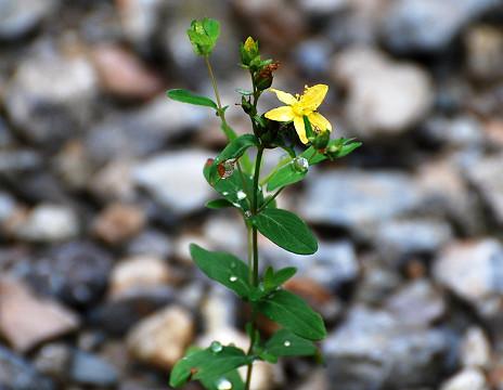 オトギリソウが咲いて