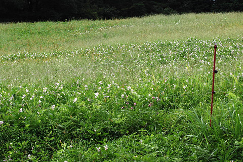 牧草地にワルナスビが
