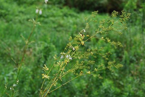 タイシャクカラマツの花は