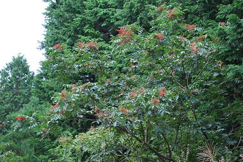ヌルデの花が赤い
