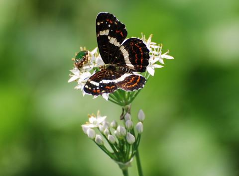サカハチョウがきれいです