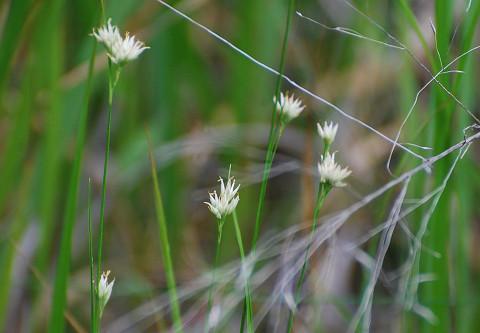 ミカズキグサの花が