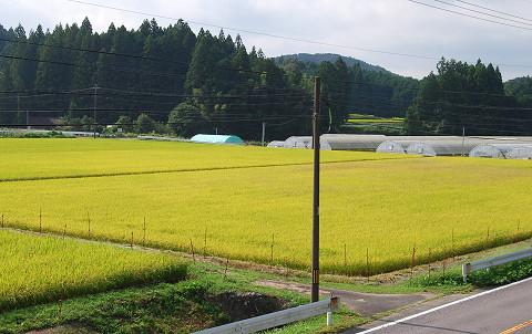 黄色く色づいた田んぼ