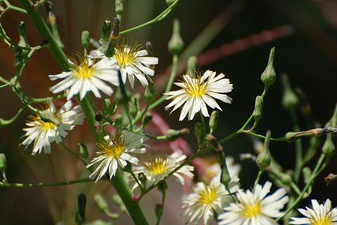 タカサゴソウに花が1