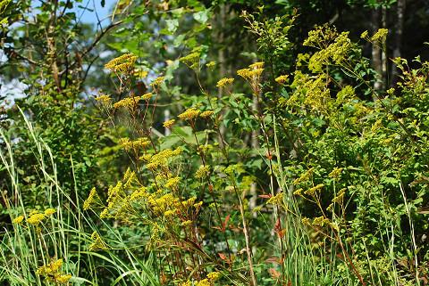 オミナエシの黄色い花が