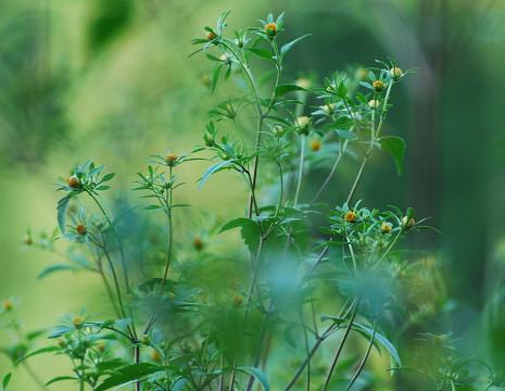 アメリカセンダングサが咲き始め