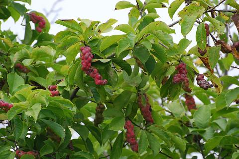 コブシに赤い実が