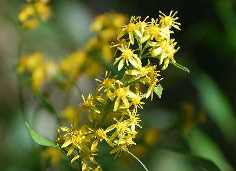 アキノキリンソウ黄色い花