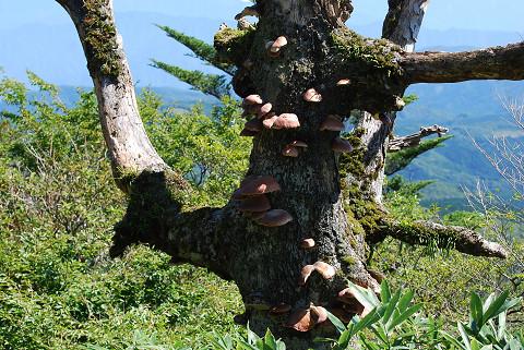 枯れ木にキノコが1