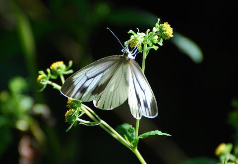 メナモミの花にモンシロチョウ