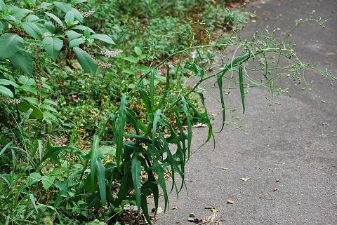 タカサゴソウの咲き始め