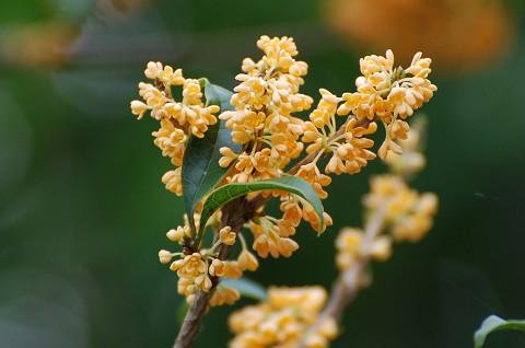 キンモクセイの黄色い花