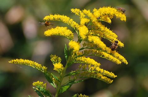 セイタカアワダチソウの黄色