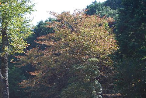 ヤマザクラが紅葉を始めた