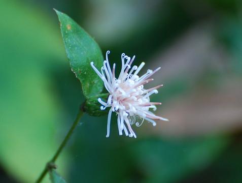 コウヤボウキの花が
