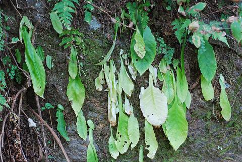 イワタバコの葉が