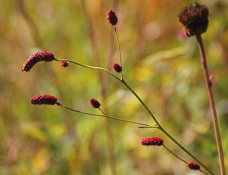ワレモコウ紅い花