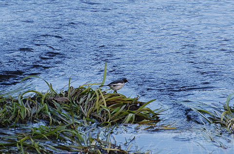 川にセグロセキレイ