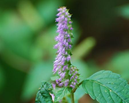 ナギナタコウジュの花は