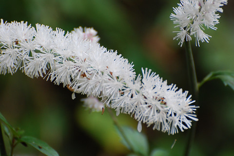 サラシナショウマの白い花2