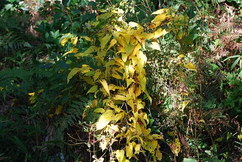 裏山のヤマノイモ黄葉