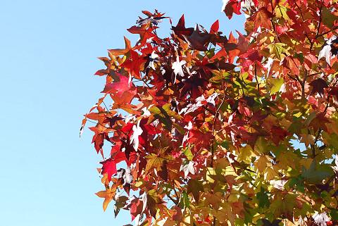 フウの紅葉が