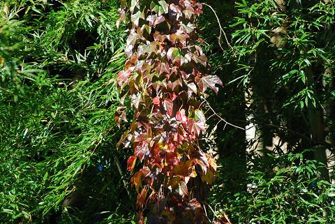 裏山のツタ紅葉