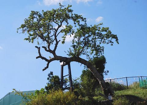 トヨトミナシ天然記念物