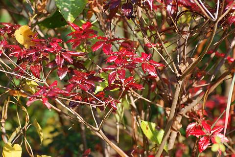 バイカツツジの赤い葉